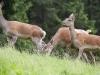 Rehe bzw. Wild in freier Natur, 2010-06-18, Feature Wildtiere, aufgenommen in Durchholzen bei Walchsee; im Bild (v.l.n.r.): Rehe beim Fressen in der Waldlichtung ; Foto: Roland Muehlanger