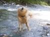 Featurefoto Golden Retriever beim Abschutteln, 2010-08-01, AUT; im Bild (v.l.n.r.): Golden Retriever schuttelt sich nach einem Bad im Bach ab; Foto: Roland Muhlanger
