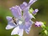 Featurefoto Biene auf einer bluehenden Blume (Malve), 2010-07-17; im Bild (v.l.n.r.): Biene auf einer Blume ; Foto: Roland Muehlanger